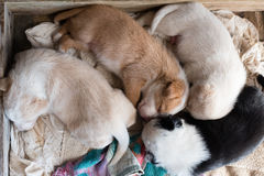 Puppies sleeping together from above. High angle view of cross breed puppies curled up together sleeping in wooden box Royalty Free Stock Images
