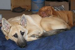 Puppies sleeping together. Dogue de bordeaux puppy sleeping with another dog Royalty Free Stock Photography
