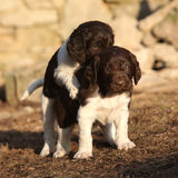 Puppies of Small Munsterlander playing together Royalty Free Stock Photos