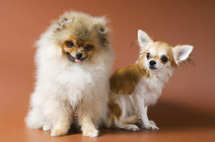 Puppies of a spitz-dog and сhihuahua Stock Photos
