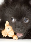 Puppies of the spitz-dog Stock Images