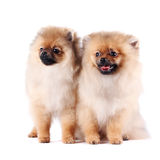 Puppies of a spitz-dog. The puppies of a spitz-dog sits on a white background Stock Photography