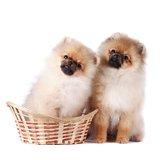 Puppies of a spitz-dog Royalty Free Stock Photo
