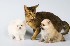 Puppies of the spitz-dog and cat Royalty Free Stock Photos