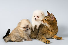 Puppies of the spitz-dog and cat Royalty Free Stock Images