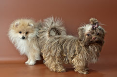 Puppies of a spitz-dog and color lap dog Stock Photography