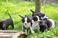 Puppies in a spring meadow Royalty Free Stock Photography