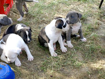 Puppies stafford Royalty Free Stock Photography