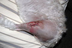 A Puppies Stitches And Staples After Surgery. Stitches and Staples After Having Surgery For A Luxating Patella Which Is Common For Small Breed Dogs Royalty Free Stock Photo