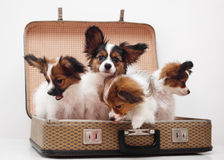 Puppies in the suitcase Stock Photography