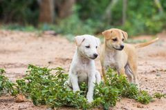 Puppies Thailand. Two puppies sit watching the friends playing on the field royalty free stock images