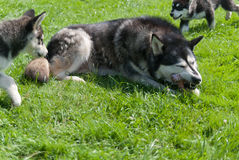 Puppies and their dog mom. Alaskan malamute mother eating bone and puppies Stock Photos