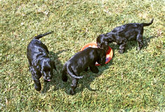 Puppies. Three black puppy in the grass, eating Royalty Free Stock Photo