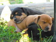 Puppies. Three little puppies sleeping together Royalty Free Stock Photography