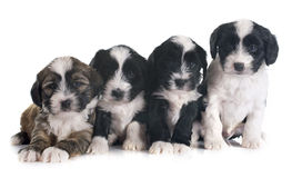 Puppies tibetan terrier Royalty Free Stock Photos