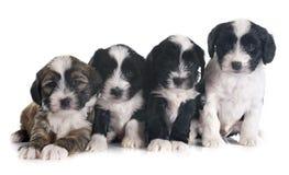 Puppies tibetan terrier Royalty Free Stock Photos