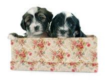 Puppies tibetan terrier Stock Photography