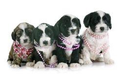 Puppies tibetan terrier Stock Image