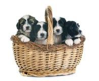 Puppies tibetan terrier Stock Images