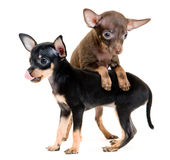 Puppies of toy-terrier in studio Royalty Free Stock Images