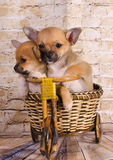 Puppies traveling by bike Royalty Free Stock Photos