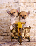 Puppies traveling by bike Stock Image