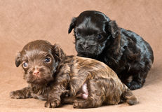 Puppies of a tsvetnaya bolonka Royalty Free Stock Photo