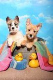 Puppies in a tub Royalty Free Stock Images