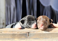 Puppies Royalty Free Stock Photography