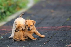 Puppies. Two Cute Puppies Playing at the Road Side in a Park having fun time together Stock Images