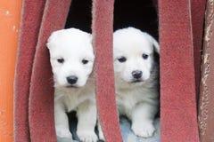 Puppies. Two white puppies of labrador Stock Photos