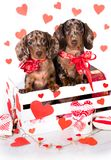 Puppies in Valentine`s Day stock image