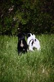 Puppies Walking in Grass. Two Puppies walking in tall grass Royalty Free Stock Photos