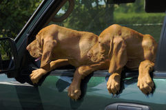 Puppies Watching Car Mirror Stock Image