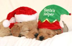 Puppies wearing holiday hats. Two golden retriever puppies sleeping with holiday hats Royalty Free Stock Image