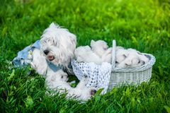 Puppies West Highland White Terrier in a basket with beautiful lights at background. Westies Royalty Free Stock Image