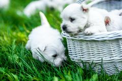 Puppies West Highland White Terrier in a basket with beautiful lights at background. Westies Stock Photography
