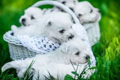 Seven Puppies West Highland White Terrier in a basket with beautiful lights at background. Puppies West Highland White Terrier in a basket with beautiful lights Royalty Free Stock Photo