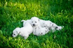 Puppies West Highland White Terrier lies in green grass royalty free stock images
