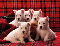 5 puppies westies Stock Photography