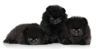 Puppies on a white background Royalty Free Stock Image