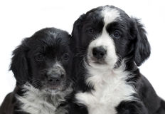 Puppies on white background Royalty Free Stock Images