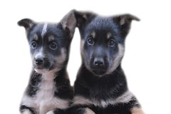 Puppies on a white background. royalty free stock images