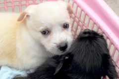 Puppies white and black  at lovely Royalty Free Stock Photography