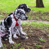 Puppies white marble German dog sitting on green grass Royalty Free Stock Photography