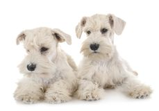 Puppies white miniature schnauzer. In front of white background stock photos