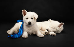 Puppies of the white sheep-dog with a bow on a nec Stock Images