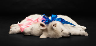 Puppies of the white sheep-dog with a bow on a nec Stock Image