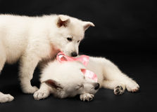 Puppies of the white sheep-dog with a bow on a nec Stock Photo