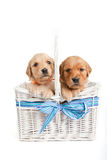 Puppies in wicker basket Royalty Free Stock Photography